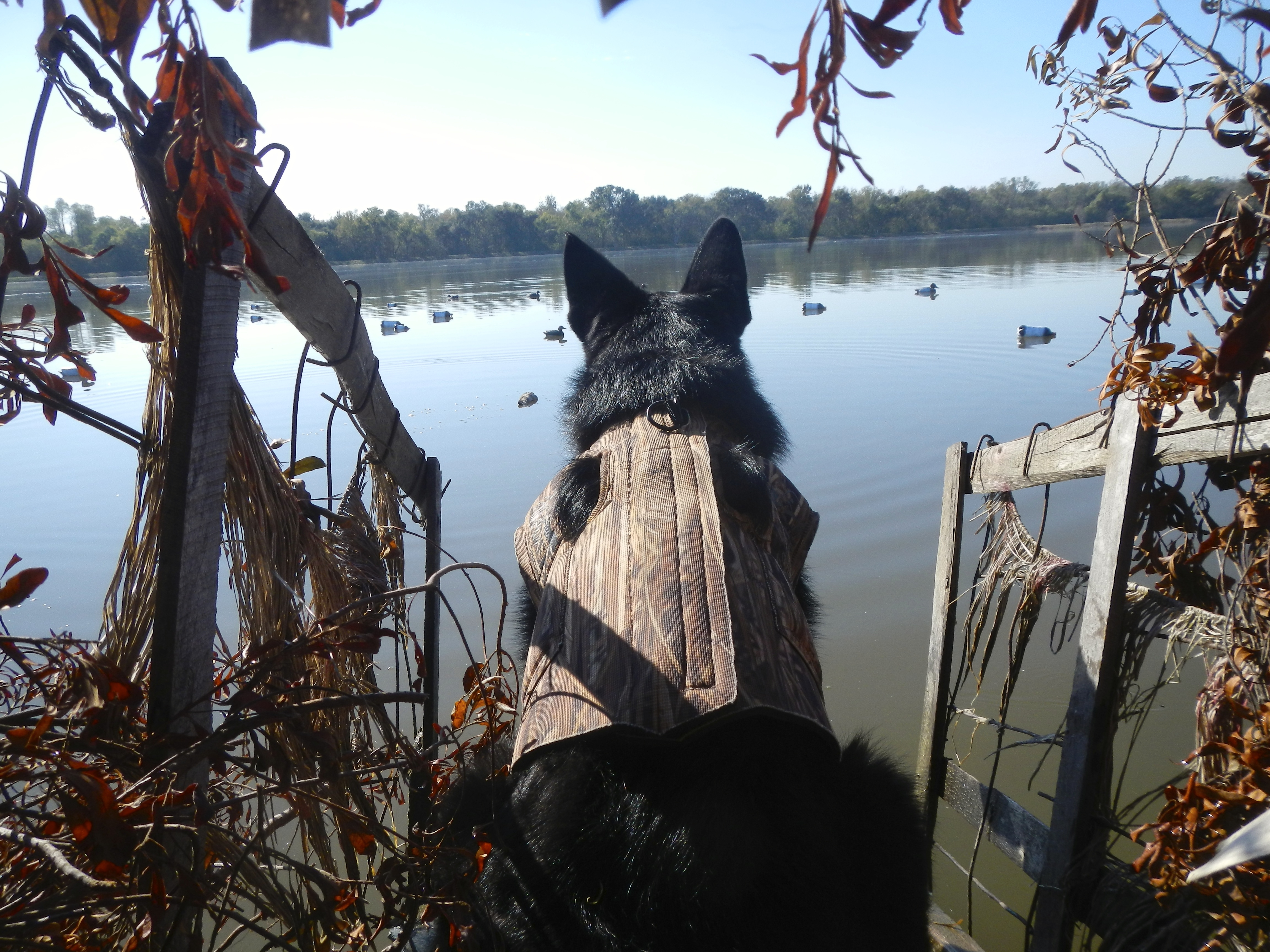 Diesel patiently waits for the ducks to start falling.