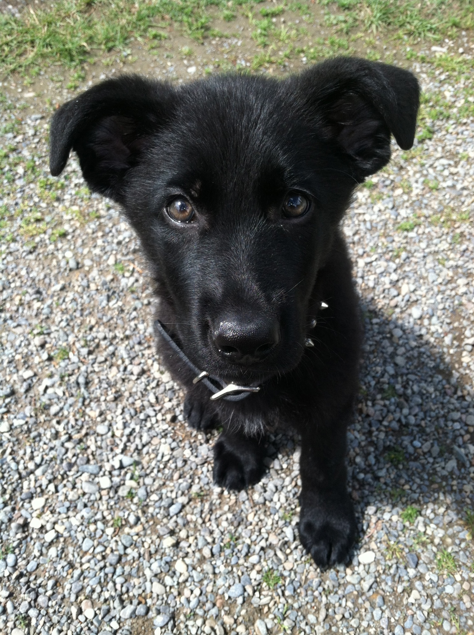 Dutch Shepherd Lab Mix Tips with german shepherd