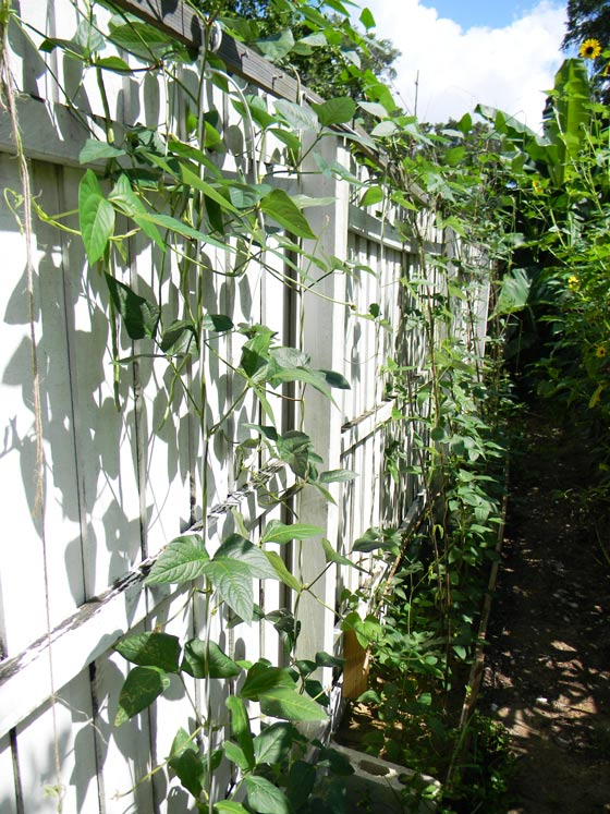 Growing Snake Beans The Prepper Project The Survival