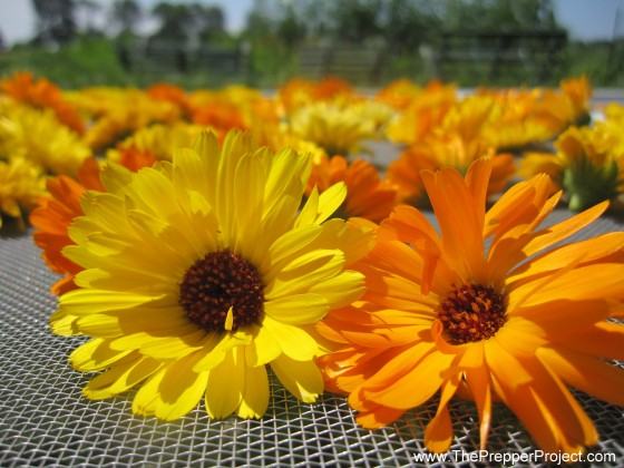 Drying Calendula For Antibiotic Salve
