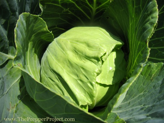 Cabbages and other brassicas will provide vitamin C, even after storage.