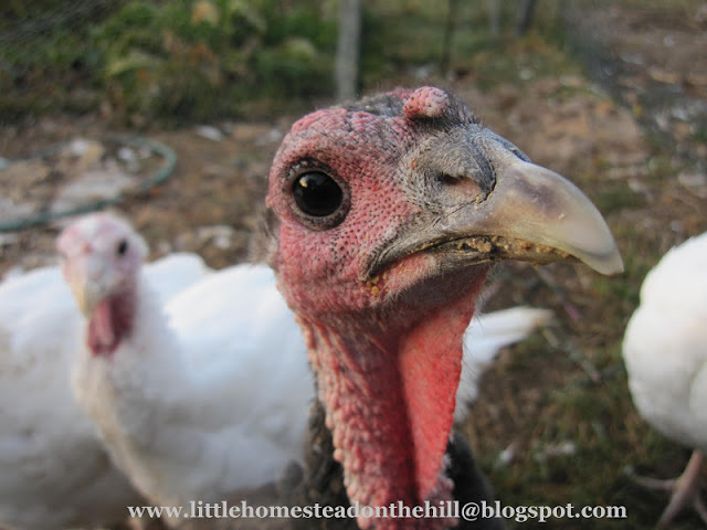 Turkey's Head