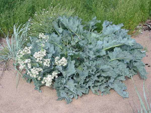 perennial vegetables, survival gardening