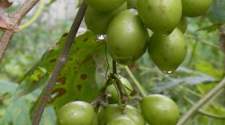 8-VineLayer-Grapes2