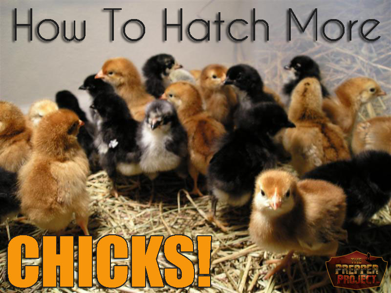 How To Hatch More Chicks