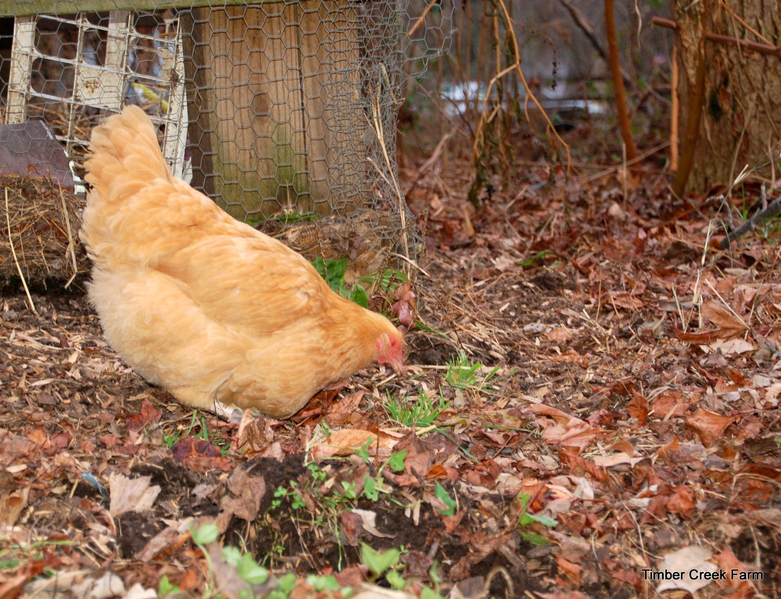top chicken diseases and natural treatments theprepperproject com