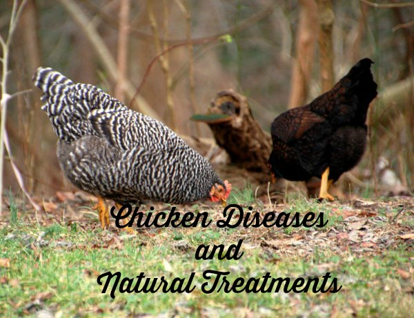 Chicken Diseases and Natural Treatments, raising chickens, top chicken diseases