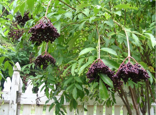 Boost Your Immune System With Elderberry Syrup