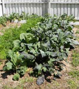 This small double-dug bed is producing buckets of food.