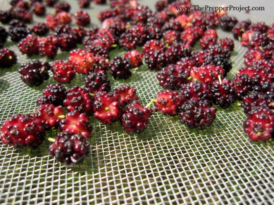 Dehydrate berries on a screen...just be sure to protect them from birds!