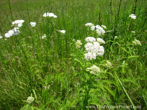 Wild Yarrow (Achillia millefolium) is also an insect repellant.