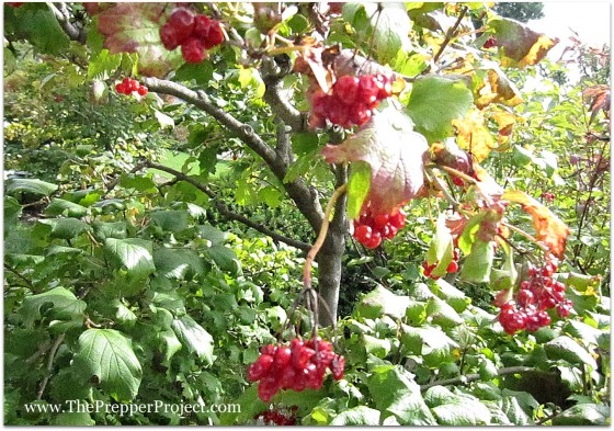 Wild fruit, like these Highbush Cranberry, are packed with vitamin C.