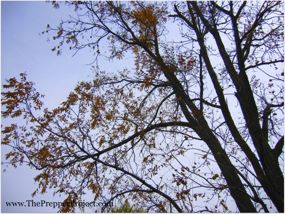 The American black walnut provide edible nuts, lumber, and poison for catching fish.