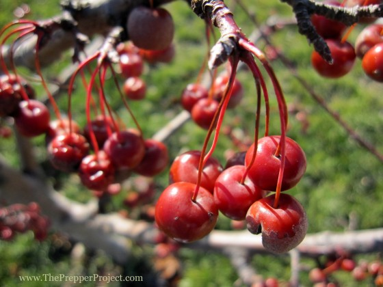 Crab apples provide a punch of vitamins.