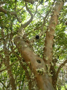 Jabuticaba tree in bloom, with one fruit left after the previous fruit set. Note how the fruit grow directly out of the trunk. Cool, eh?