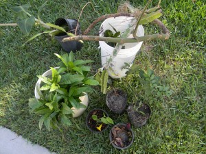 A gardener who was moving hooked me up with a pile of plants. Gardeners are awesome.