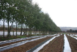 Soft_fruit_in_plastic_sheeting_-_geograph.org.uk_-_1614012