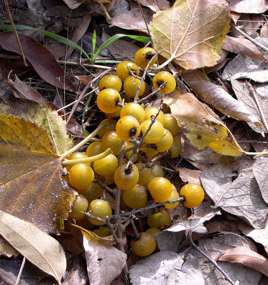 Western_Soapberry