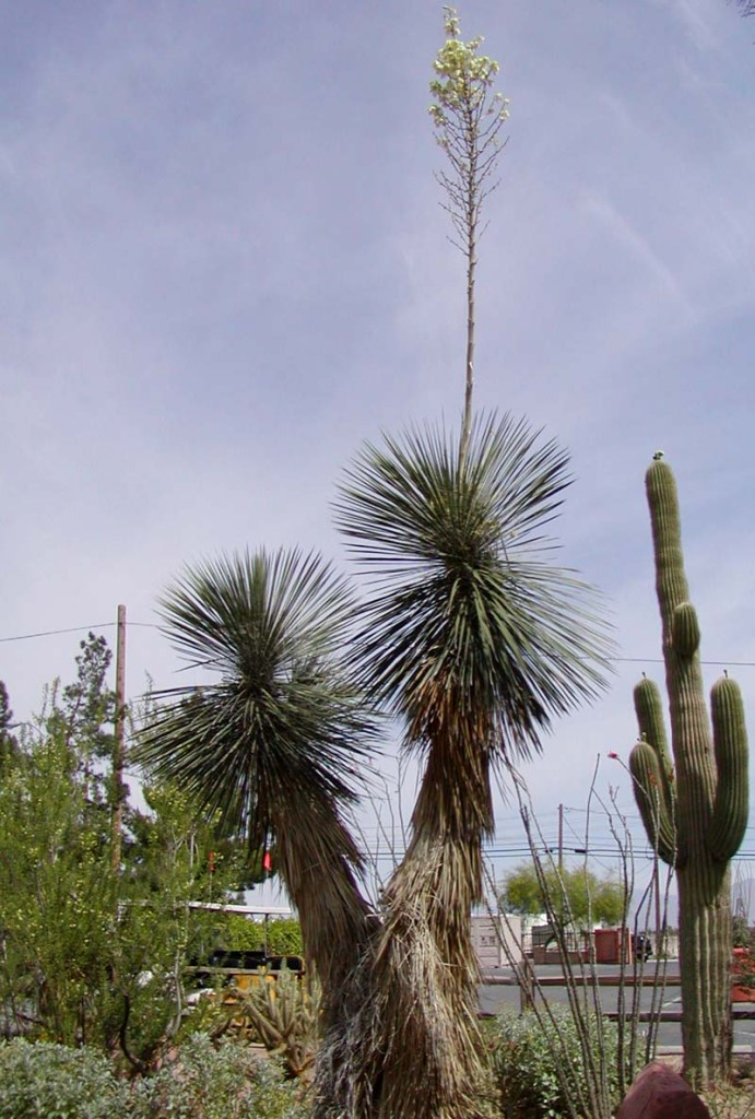 Soaproot Yucca