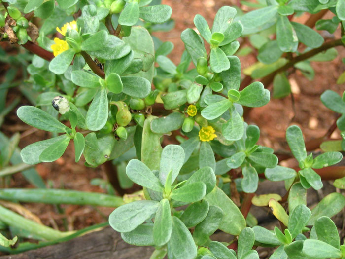 purslane up close